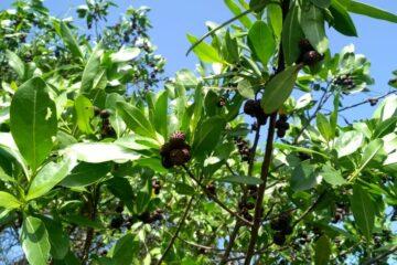Michoacán cuenta con cuatro especies distintas de manglares