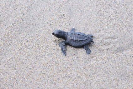 Costa de Michoacán, refugio de la migración de la tortuga marina